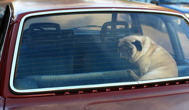 หมาอยู่ในรถ